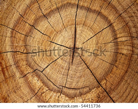 Tree  oak  cut - stock photo
