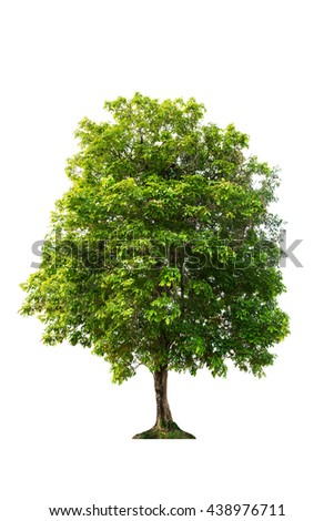 Tree of isolate.Tree on white background.green leaves tree.