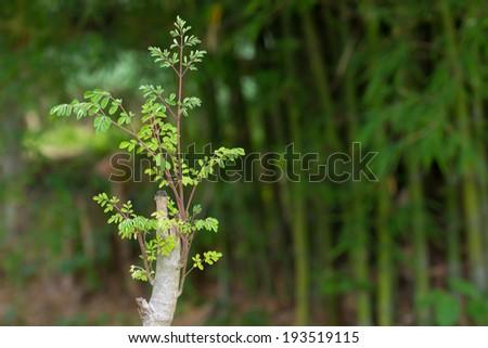 Tree of the Bitter cucumber-chinese (Moringa oleifera Lam.) - stock photo
