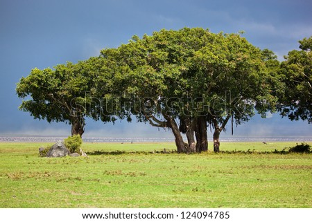 Tree on savannah landscape. Ngorongoro crater, Tanzania, Africa