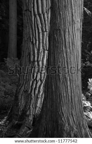 Tree on Trail of the Cedars in Glacier National Park - stock photo