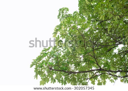 tree on white background, green leafs.