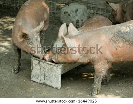 tree piglets having fun, one of them in a trough - stock photo