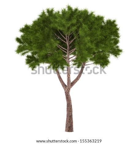 Tree pine isolated. - stock photo