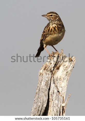 Tree Pipit - stock photo