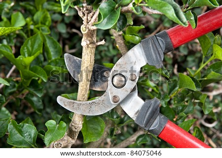 Tree pruning sheers getting ready to cut into a branch during gardening - stock photo