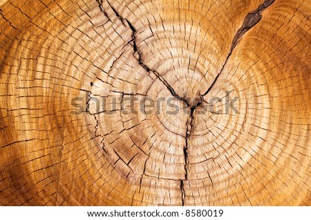 Tree rings in a cut down tree. - stock photo