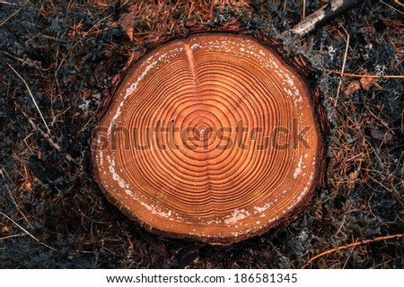 Tree rings on a cut log in a conifer forest after logging - stock photo