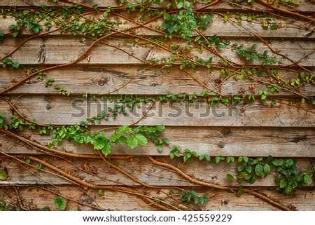 Tree root climbing on the wooden wall. - stock photo
