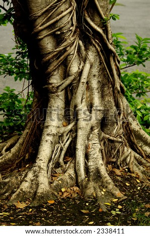 Tree Root of a really big tree . - stock photo