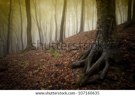 tree roots in a forest with fog - stock photo