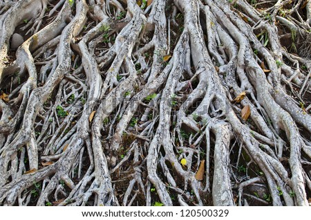 Tree roots on the ground. - stock photo