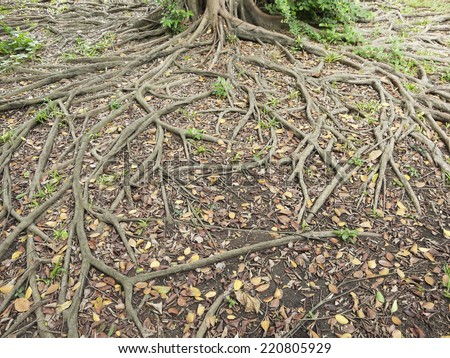 Tree roots on the ground - stock photo