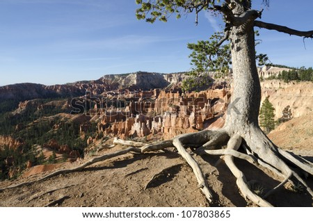 tree roots out of the ground in Bryce Canyon National Park in Utah in America