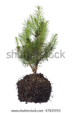 tree seedling isolated on white - stock photo