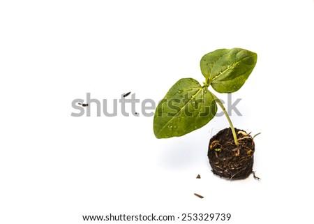 tree seedling on white background - stock photo