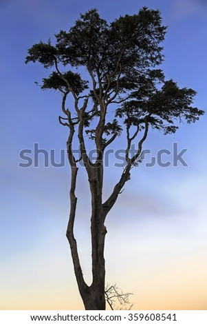Tree silhouette with blue sky and red on trunk at sunset  - stock photo