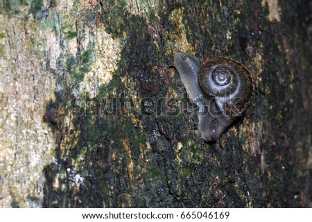 Tree snail moving on the tree in rain forest.