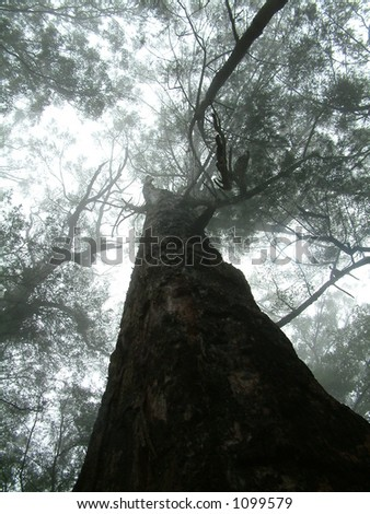 tree soaring into the fog - stock photo