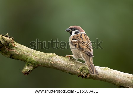 Tree Sparrow - stock photo