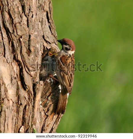 Tree sparrow in front of nest-hole, with chick - stock photo