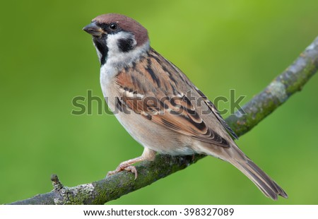 Tree Sparrow posing at the green background