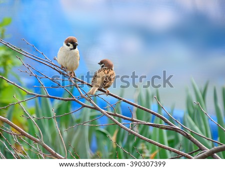 Tree sparrows on branch  - stock photo