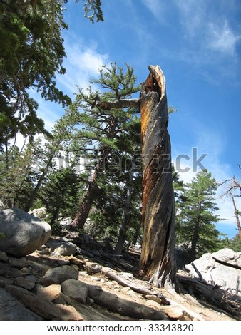 Tree struck by lightning in the San Jacinto Mountains - stock photo