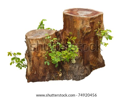 Tree stump and green leaf isolated on white - stock photo