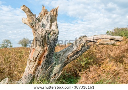 Tree stump in a dune landscape in the dunes in the Netherlands. - stock photo