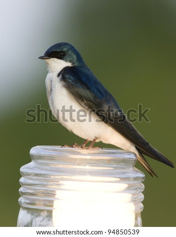 Tree Swallow Close up in Saskatchewan Canada - stock photo