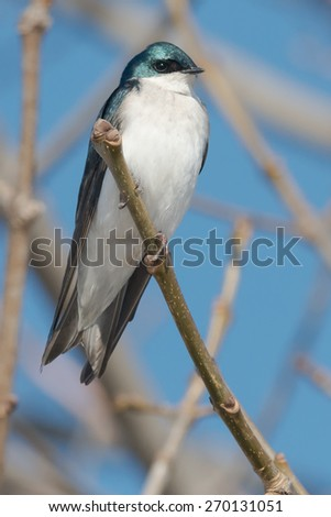 Tree Swallow perched on a branch. - stock photo