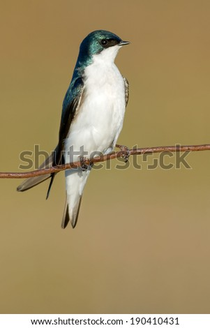 Tree Swallow perched on a page wire fence. - stock photo