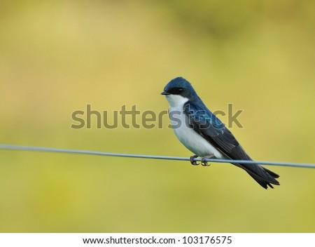 Tree Swallow perched on a wire - stock photo