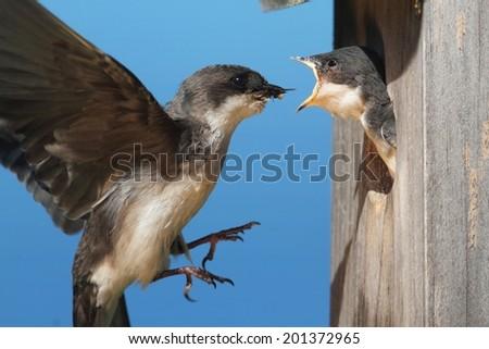 Tree Swallow (tachycineta bicolor) feeding hungry babies - stock photo