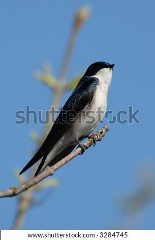 Tree Swallow - Tualatin River National Wildlife Refuge - stock photo