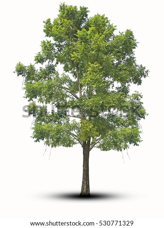 tree tall isolated on white background with clipping path