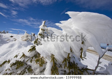 Tree top heavily covered with snow, blue skies in background