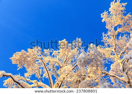 Tree Tops with hoarfrost against the blue sky