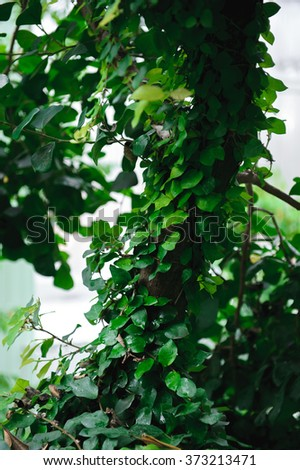 Tree trunk entwined with ivy. - stock photo