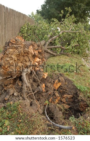 Tree Uprooted by Storm, St. Louis, Missouri - stock photo
