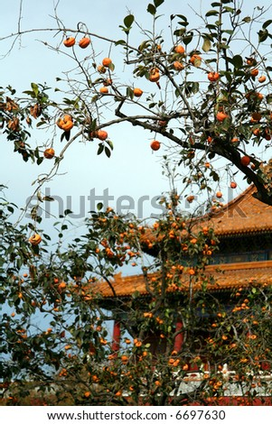 Tree with a persimmon in China - stock photo