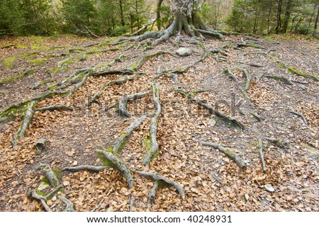 tree with big roots in Ordesa National Park, Pyrenees, Spain