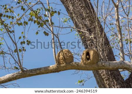 Tree with Joao de Barro bird and nest, Rufous hornero - stock photo