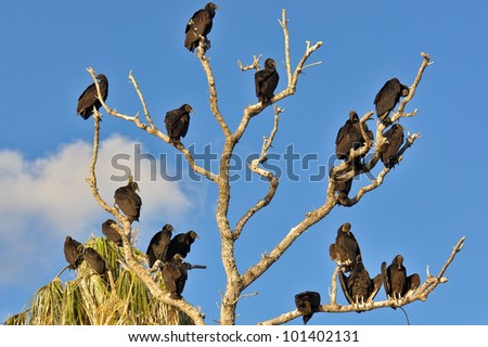 Tree with many black vultures sitting on the branches - stock photo
