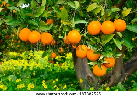 Tree with oranges on a yellow flowers background - stock photo