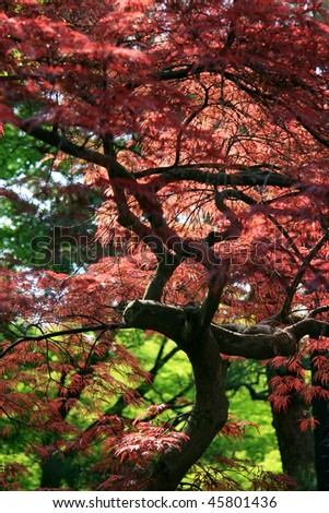 Tree with pink leaves in a Japanese garden - stock photo