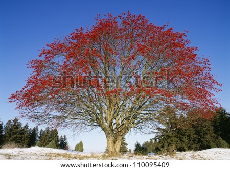Tree with red leaves against blue sky