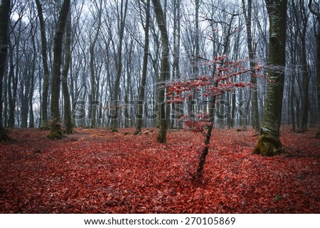 Tree with red leaves in autumnal forest - stock photo