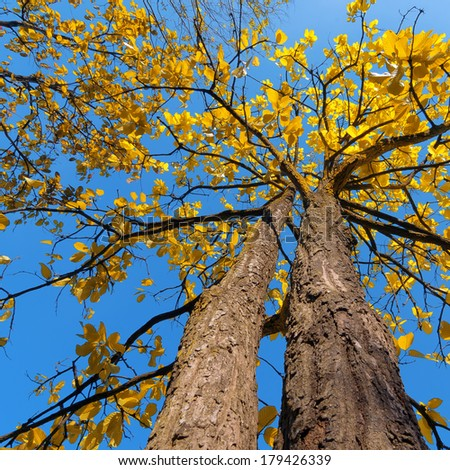 Tree with yellow leaves, the daytime sky. Perk up view - stock photo